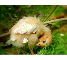 Whoops-a- Daisy! - Baby Chick - NZ Photographic Print