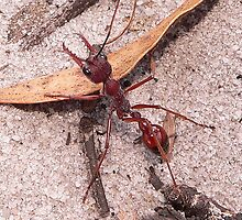 Bull Ant  by Tom Newman