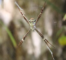 Saint Andrew's Cross Spider by Kylie  Metz