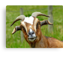 Nanny Reporting For Duty! - Goat - NZ Canvas Print