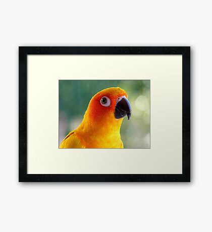 I Might Be Up To Mischief! - Sun Conure NZ Framed Print