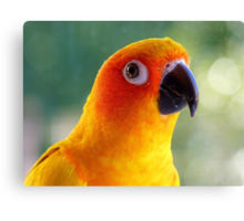 I Might Be Up To Mischief! - Sun Conure NZ Canvas Print