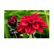 National Flower Of Mexico - Red Dahlia - NZ Art Print
