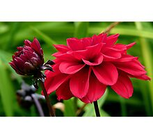 National Flower Of Mexico - Red Dahlia - NZ Photographic Print