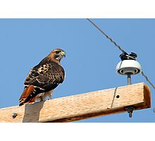 Redtailed Hawk - Sentinel Photographic Print
