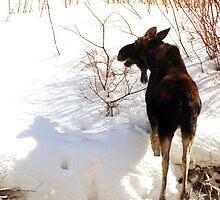 Moose Feeding - Provo River by Ryan Houston
