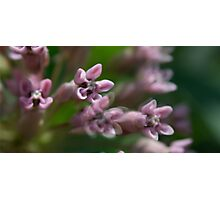 HDR Composite - Multiple Exposure Ghosting of Milkweed 3 Photographic Print