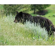 Black Bear Onto Something Photographic Print