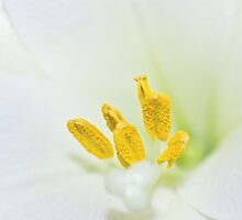 Macro of white lily and yellow pollen by lightwanderer