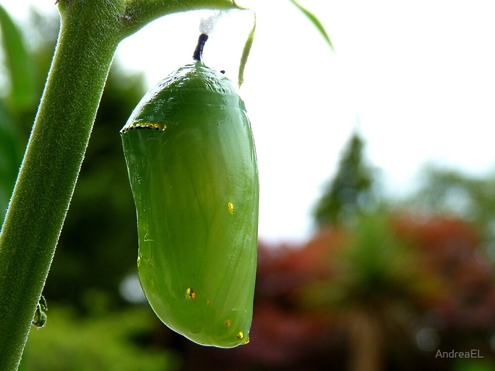 Go For Gold! - Morphed Chrysalis Monarch - NZ by AndreaEL
