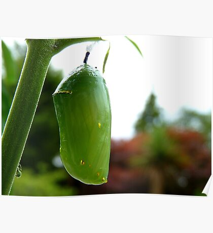 Go For Gold! - Morphed Chrysalis Monarch - NZ Poster