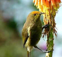 Natural Pollen Highlights! - Bellbird - Southland by AndreaEL