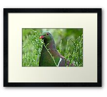 Environmentally Friendly - Wood Pigeon - Pukerau Framed Print