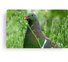Environmentally Friendly - Wood Pigeon - Pukerau Canvas Print