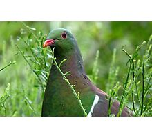 Environmentally Friendly - Wood Pigeon - Pukerau Photographic Print