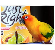 Did You Get It All This Morning! - Sun Conure - NZ Poster