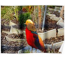 Touched By The Sun - Golden Pheasant - NZ Poster