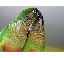Happy Valentines Day! - Bubbles & Echo - Maroon-bellied  Conure NZ Photographic Print