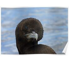 Rare Opportunity Touching NZ Wild Bird- Cormorant/Shag - NZ Poster