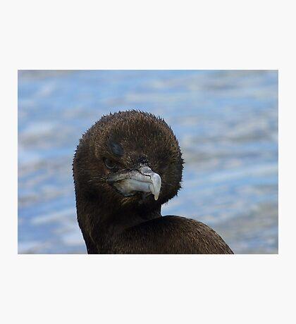 Rare Opportunity Touching NZ Wild Bird- Cormorant/Shag - NZ Photographic Print
