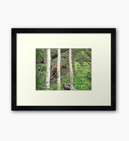 Grizzly Sleeping Framed Print