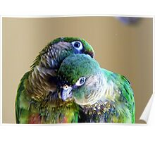 Cuddles - Maroon-bellied Conure - NZ Poster