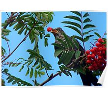 Berry Happy Blackbird - Juvenile Blackbird - NZ Poster