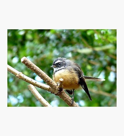 A Quick Pose - Fantail - Southland Photographic Print