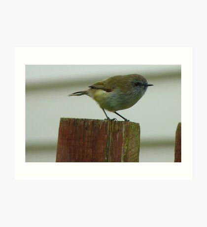 Be Quick, I'm Off! - Grey Warbler - NZ Art Print