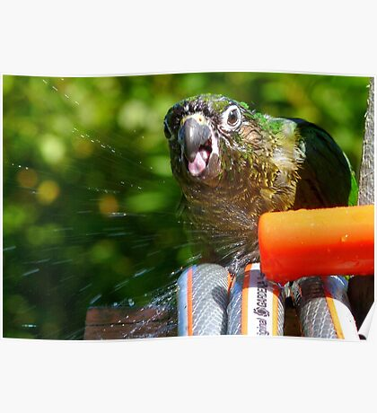 Splish Splash I was Taking A Bath! - Maroon-Bellied Conure - NZ Poster
