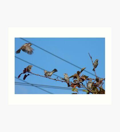 Seven - 7 House Sparrows - Southland NZ Art Print