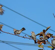 Seven - 7 House Sparrows - Southland NZ by AndreaEL