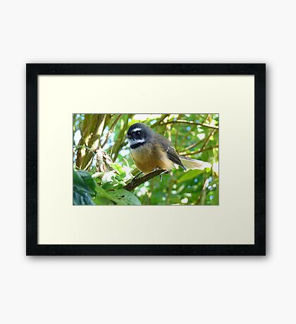 Dressed For Success - Fantail - NZ Framed Print