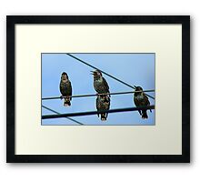 I Can See Clearly Now The Rain Has Gone- Starlings - NZ Framed Print