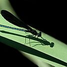 Ebony Jewelwing Dragonfly by Holly Cawfield
