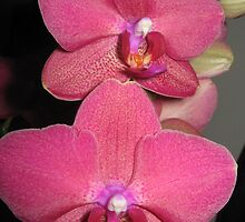 Orchids by Britchix