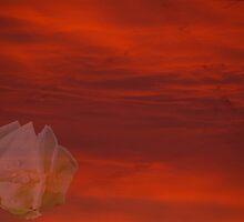 Red Sky White Rose by Kat Miller