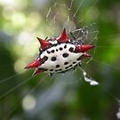 Crab-Like Spiny Orb-Weaver by MMerritt