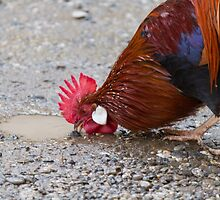 roosters in the farm by spetenfia