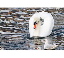 swan and seagull Photographic Print