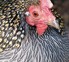 Grey Jungle Fowl by Phil Emerson