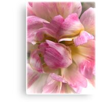 Close-up of a Soft and Frilly Pink & White Tulip ~ Pretty Spring Flower in Bloom Canvas Print