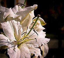 White Flower by Robiq