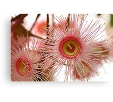 Pink Flowering Eucalypt 1 Canvas Print