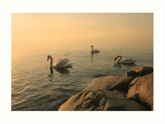 A Trio Of Swans At Sunrise by Holly Cawfield