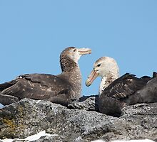 Southern Giant Petrels ~ A rocky nest  by Robert Elliott