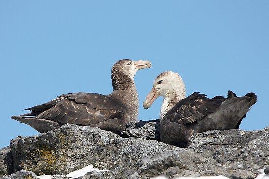 Southern Giant Petrels ~ A rocky nest  by Robert Elliott
