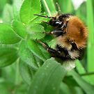 Fluffy Bee by Phil Emerson