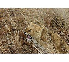 Lion Cub Roar Photographic Print