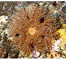 Puget Sound Anemone Photographic Print